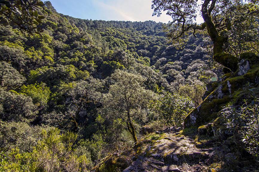 Los Tejos, árboles singulares de Extremadura